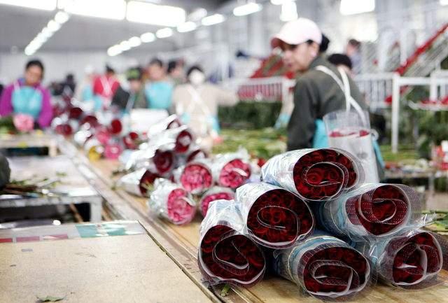 Sólo por el Día de los Enamorados, que se celebra el 14 de febrero, los floricultores colombianos realizan el 15 % del total de sus ventas anuales.