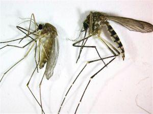 Advierten del peligro de combatir dengue con mosquitos transgénicos