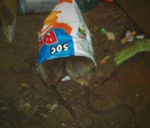 Coronan a la nueva 'rata más espantosa' del subway