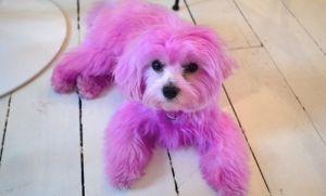 Polémica por perro rosa de Emma Watson