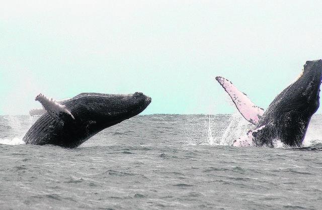 Un elíxir para las ballenas jorobadas