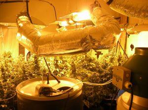 Descubren plantío de marihuana cerca de Houston