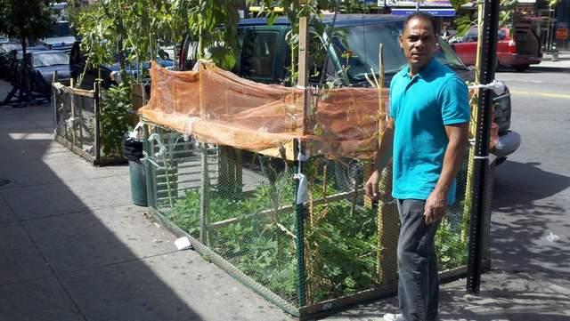 Siembran habichuelas en plena acera del Alto Manhattan