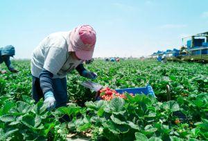 Salvadoreños recibirán visas para trabajos agrícolas, pero son varios los requisitos