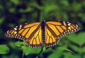Mariposa monarca viaja en avión