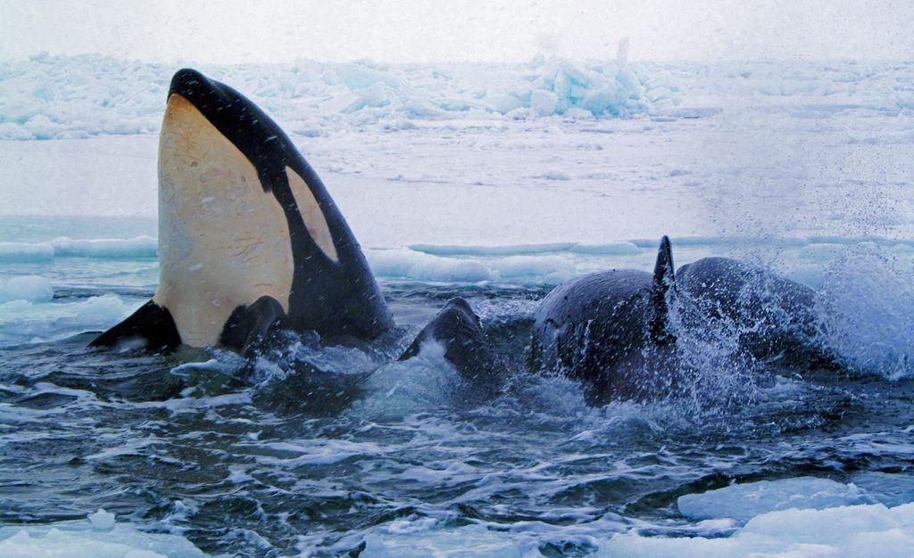 Canadá: Orcas atrapadas en el hielo ya están libres (fotos y video)