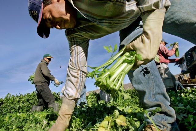 Denuncian falta de trabajadores agrícolas