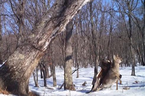 Cámaras captan a águila devorando a cervatillo en Rusia