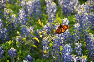 Proyectan en Los Ángeles 'El vuelo de las monarcas'