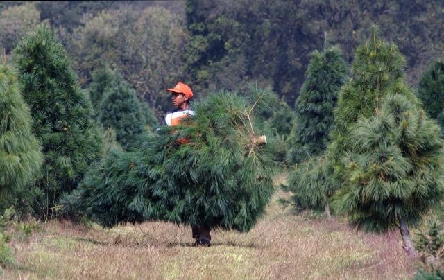 Latinos  sostienen  la industria del pino