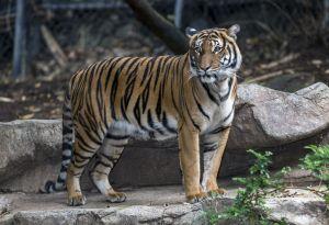 Asesinada en San Diego tigresa nacida en El Bronx