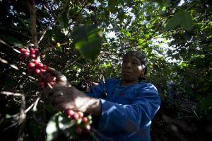 Riesgo de hambruna en Nicaragua por hongo de la roya