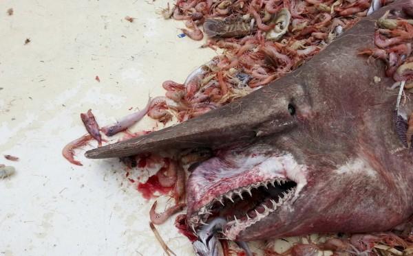 Abuelo captura extraña especie de tiburón en cayos de Florida