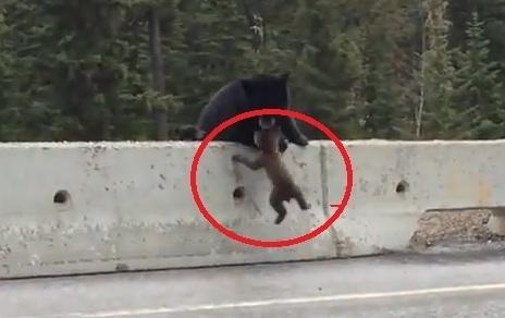 Enternecedor video muestra una osa salvando a su cría