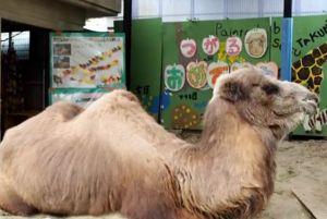 Murió el camello más viejo del mundo