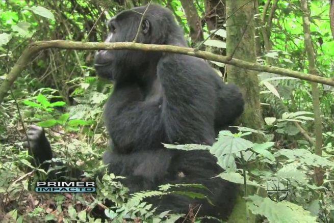 Lo confunden con un gorila, le disparan tranquilizante y lo dejan grave