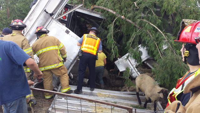 ¡Tragedia ovina! Mueren 200 ovejas en accidente en Oregon