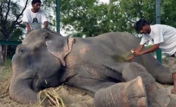 La organización inglesa Wildlife SOS rescató, el 2 de julio, a Raju.