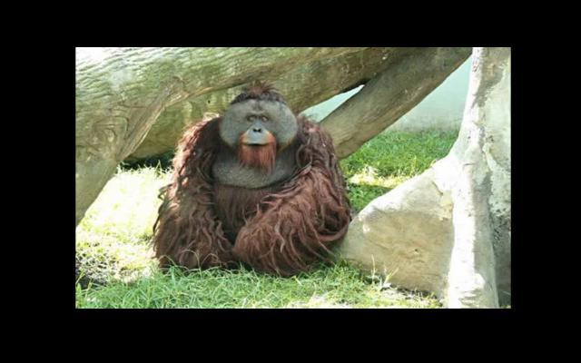 Orangután arranca el dedo a una joven en zoológico mexicano