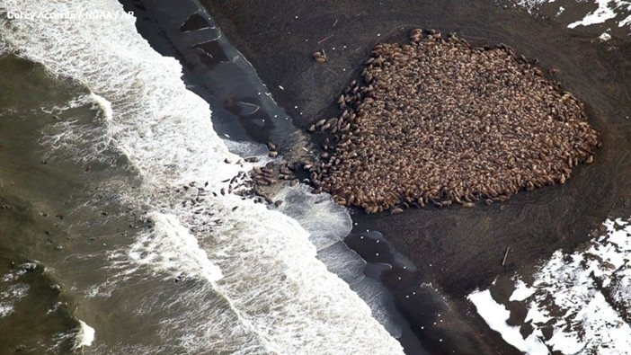 Más de 30,000 morsas llenan las costas de Alaska