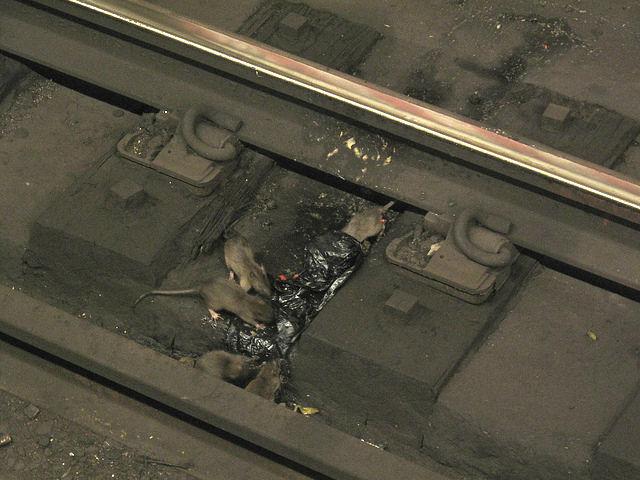 Ratas ganan la batalla en el metro de Nueva York