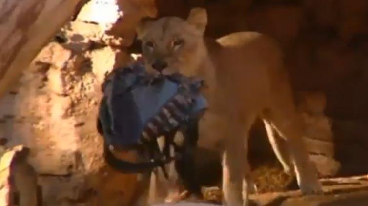 Con historial conflictivo hombre que se lanzó a leones en zoo de Barcelona (videos)