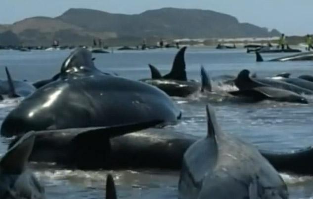 Decenas de ballenas muertas en costas de Nueva Zelanda (videos)