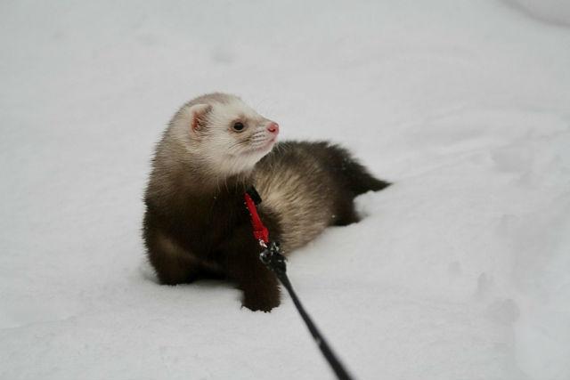 Hurones seguirán prohibidos como mascotas en Nueva York