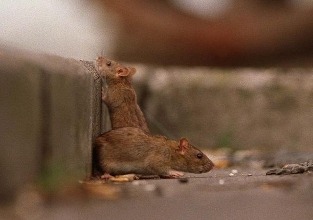Los tres edificios con más ratas en NYC