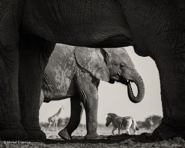 Los elefantes son los mamíferos más grandes aún vivos