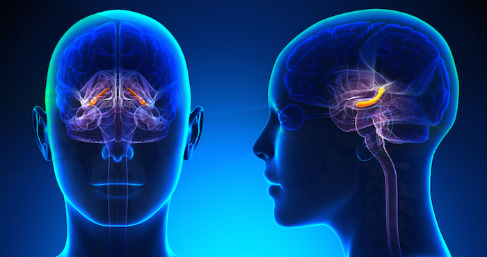 La comida chatarra encoge el cerebro