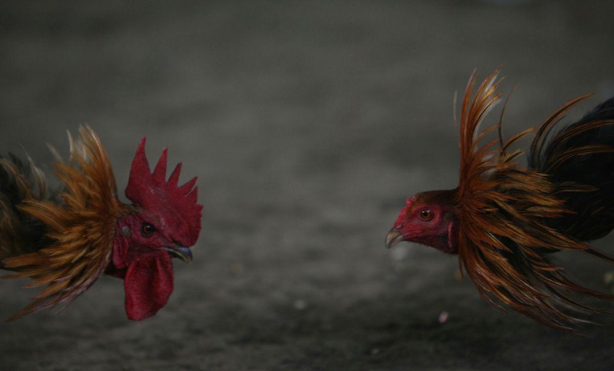 Gallos para peleas viajan ilegales de NY a México