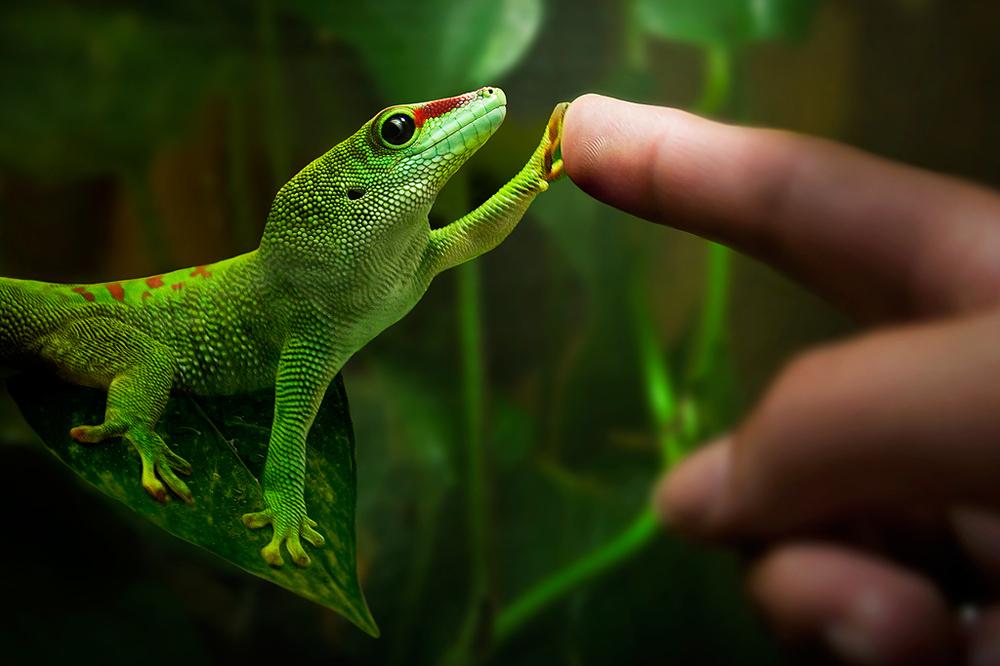 Un gecko inspira la tecnología de Ford