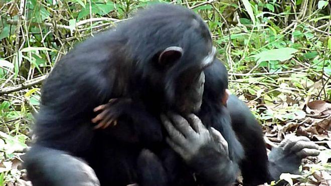La extraordinaria chimpancé que cuidó de su cría discapacitada