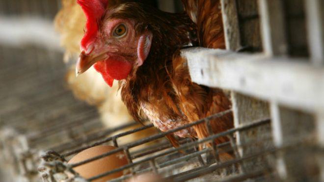 No más huevos de gallinas torturadas
