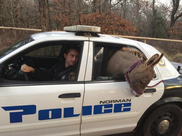 ¿Cómo meterías un burro en un auto? Aquí la respuesta