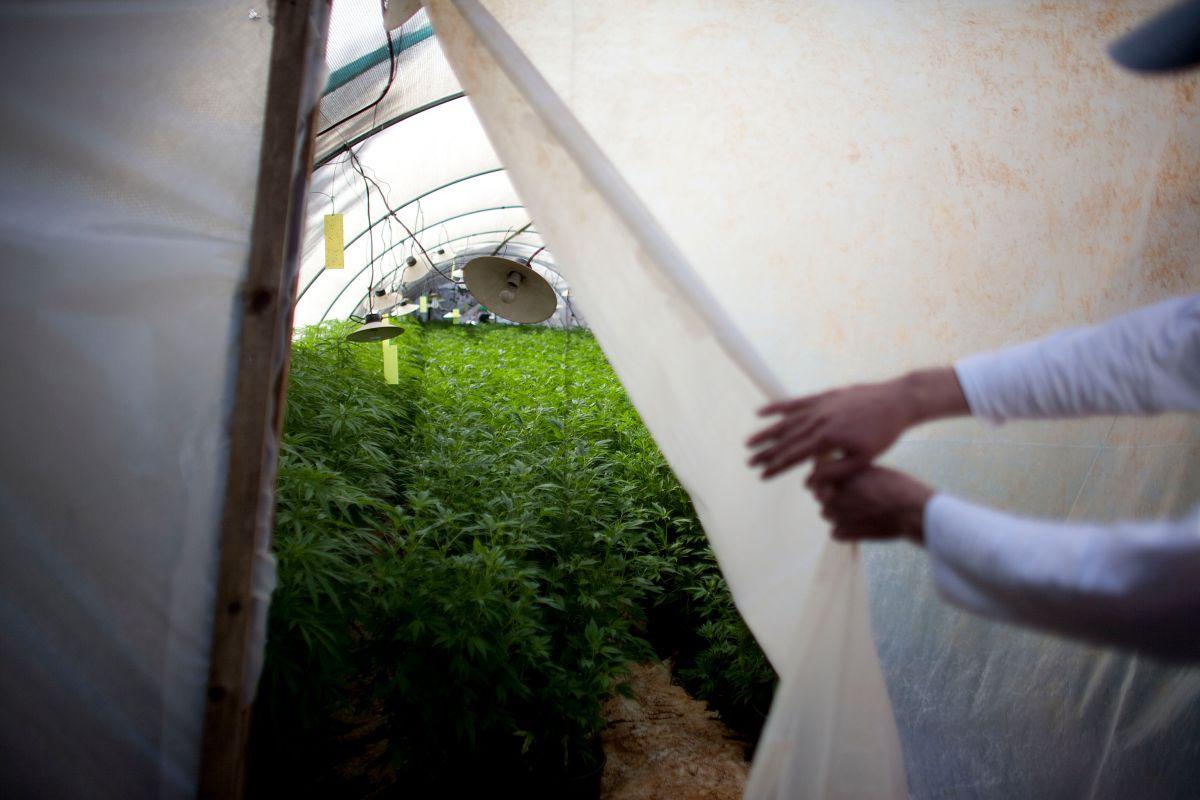 Ya hay cinco empresas que están autorizadas para cultivar y vender marihuana en este estado.