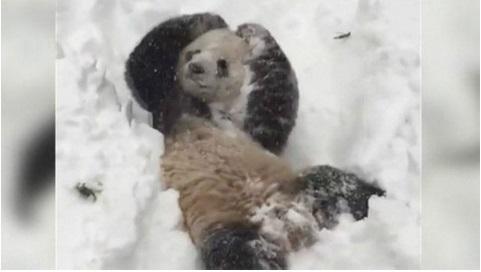 El panda Tian Tian se divierte con la nevada en Washington