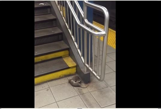 Olvídese de ratas come pizza… ahora son ratas caníbales (video)