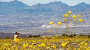 El Valle de la Muerte floreció (fotos)