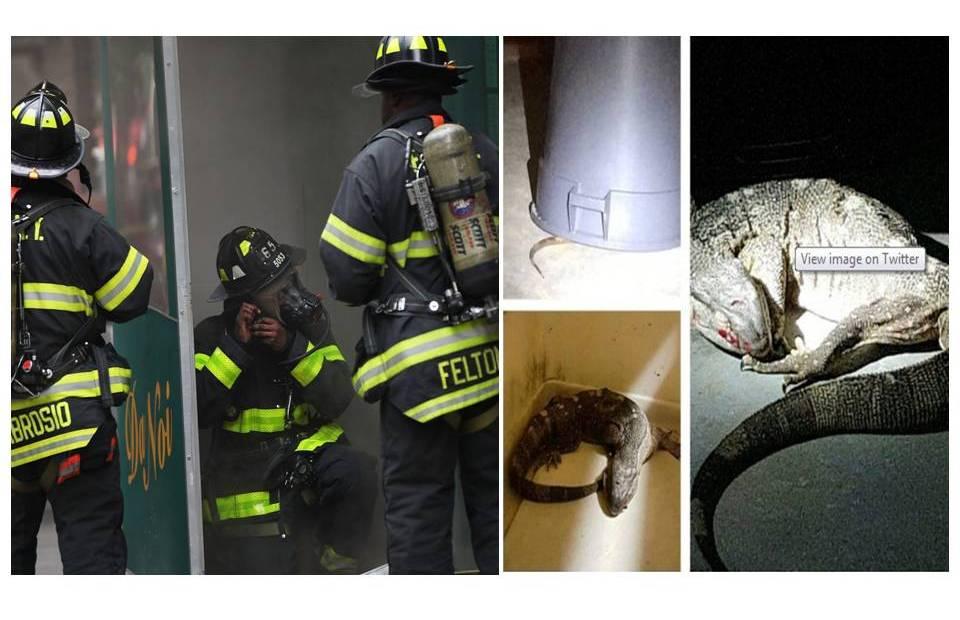 El FDNY y NYPD rescataron a los dos animales en hechos separados. En la foto, el dragón de Komodo.