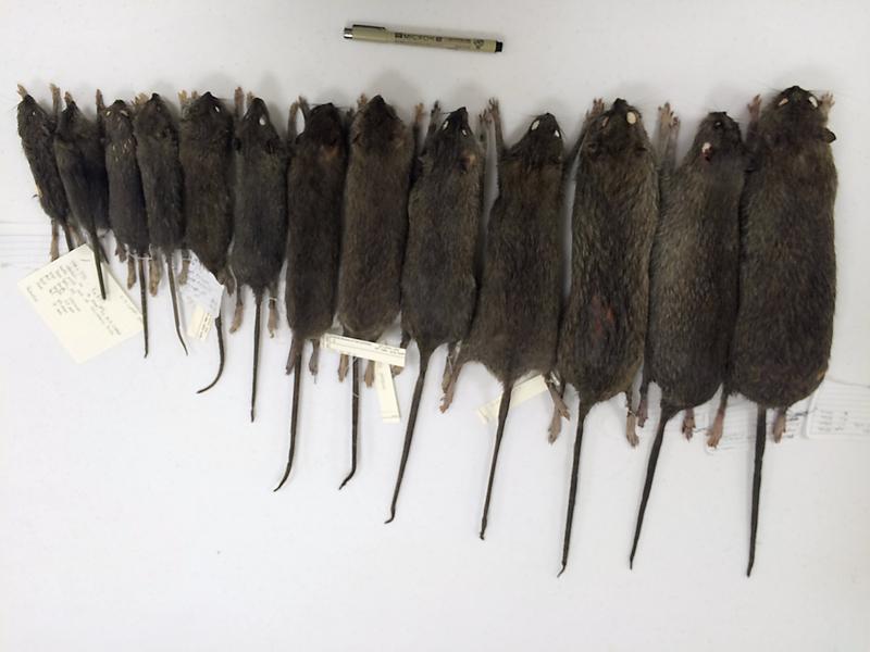 Matt Combs y Elizabeth Carlen pesaron a más de 100 'Rattus norvegicus', la especie de roedores que vive en NYC.