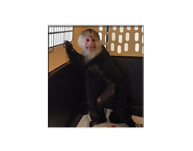 Luna, el mono capuchino confiscado en Long Island