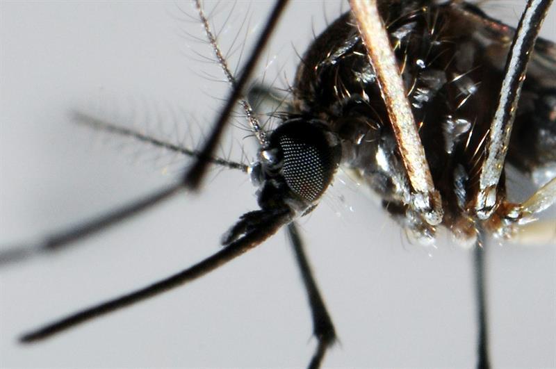El mosquito Aedes Aegypti transmite  el virus del Zika.
