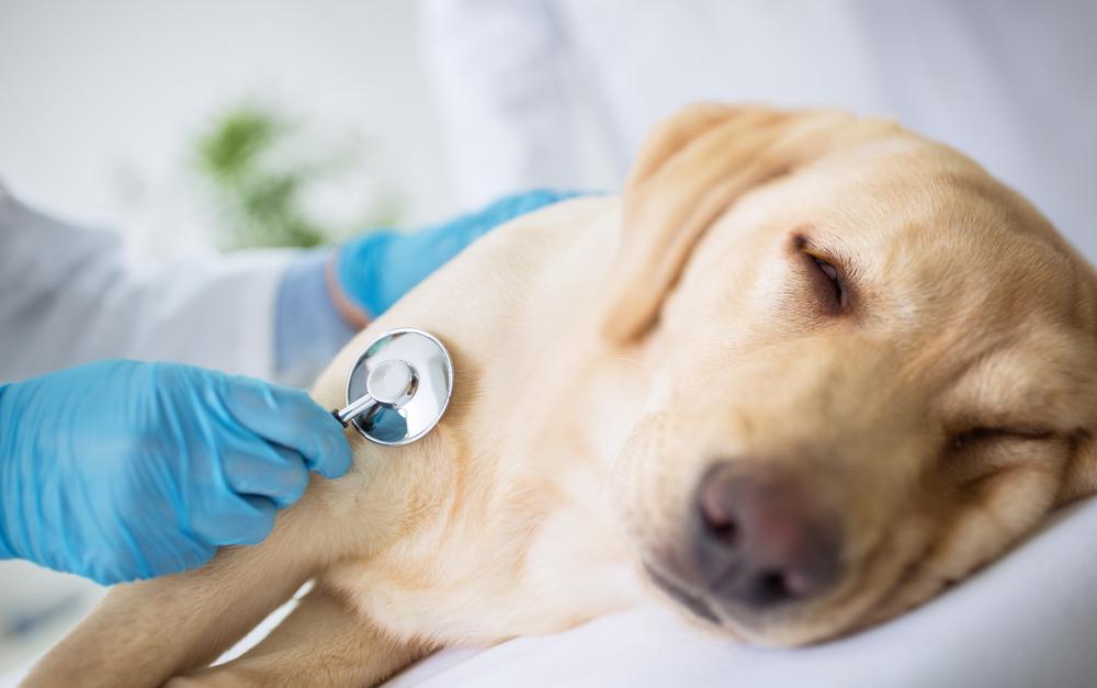 ¿La dieta de tu perro está enfermando su corazón?