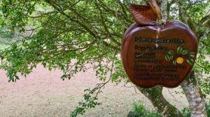 El árbol de la muerte, el más peligroso del mundo