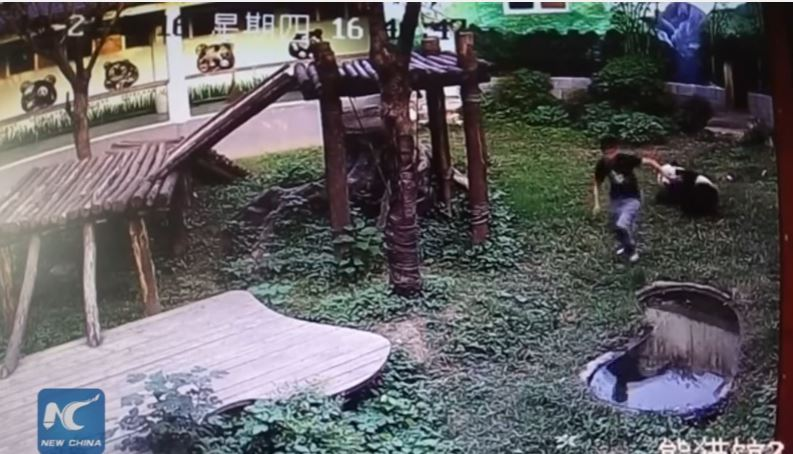 Video: Se metió a la jaula de un panda ¡para impresionar a sus amigas!