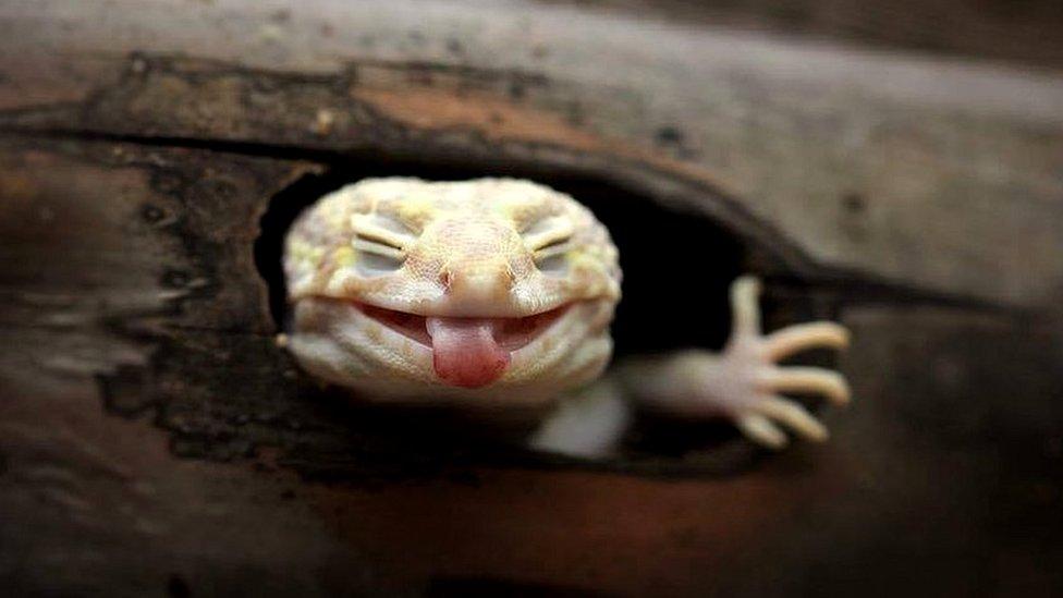 El fotógrafo Roem confiesa que esta imagen de una lagartija con la lengua afuera es su favorita.