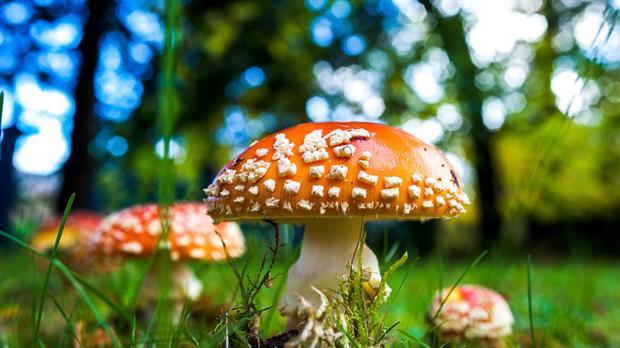 """La psilocibina es un compuesto de los llamados """"hongos mágicos."""