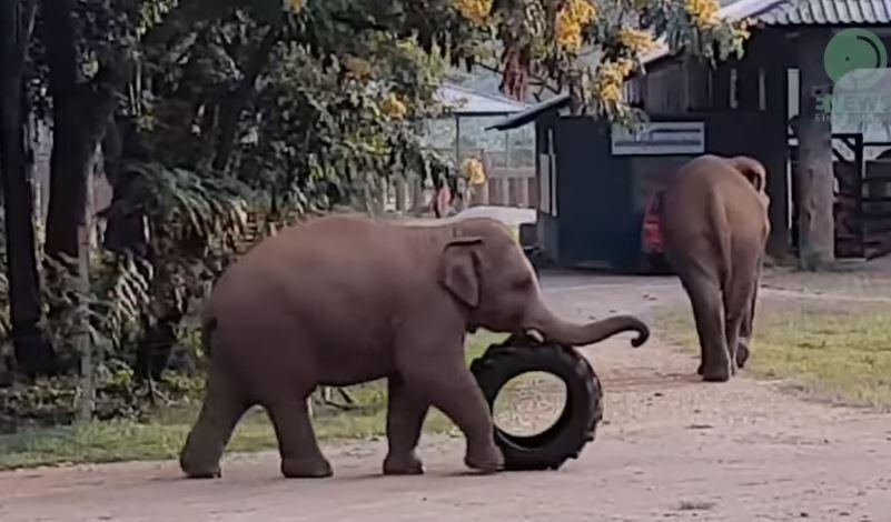 Video: El bebé elefante que se divierte horas con una llanta